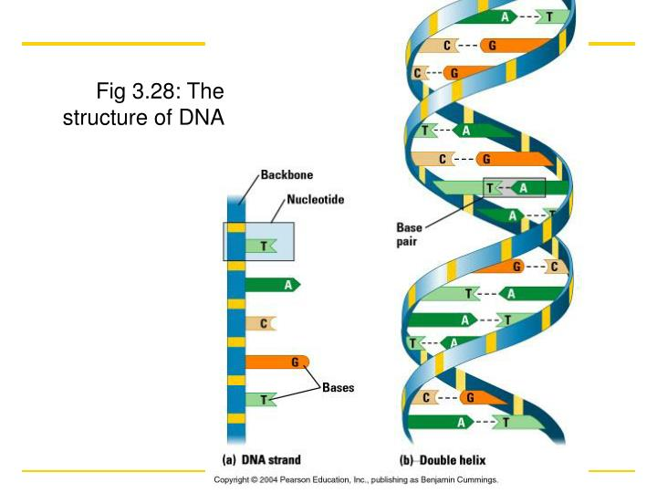 Fig 3.28: The structure of DNA