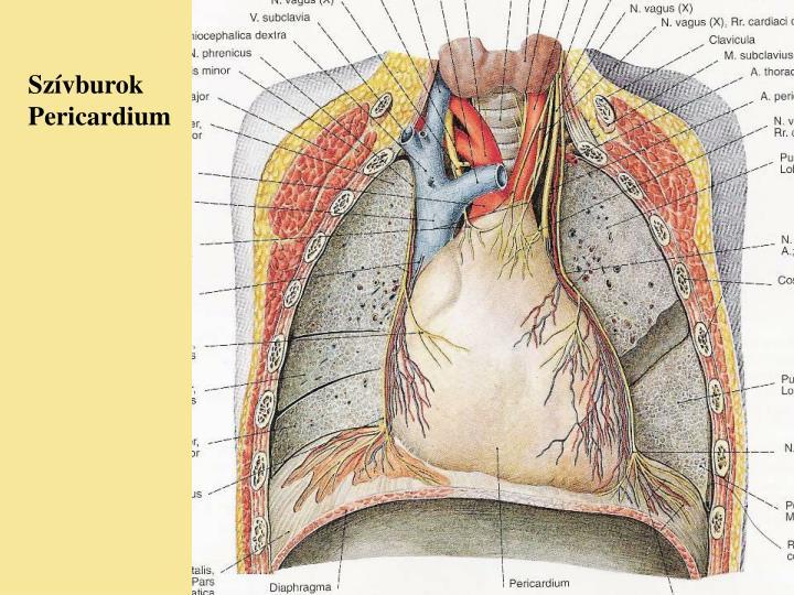 Szívburok  Pericardium