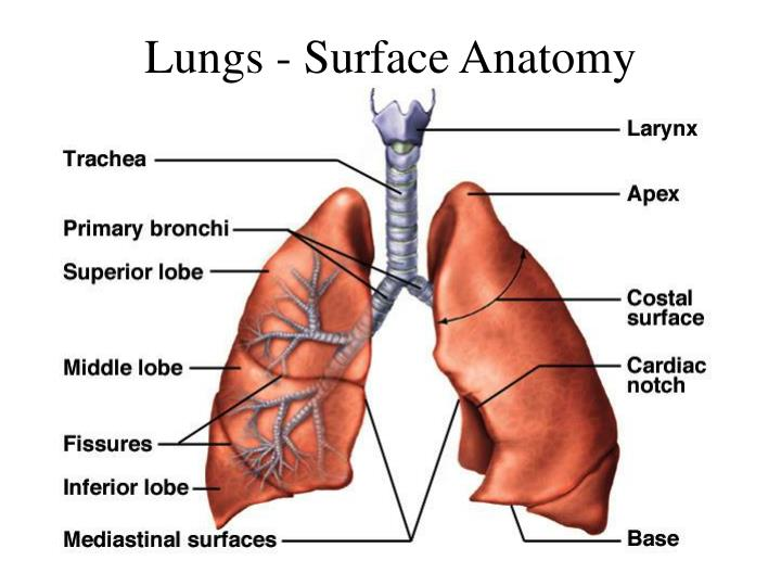 Amazing Surface Anatomy Of The Lungs Component Anatomy And