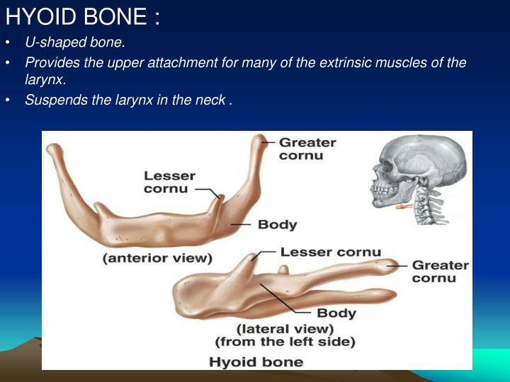 HYOID BONE :