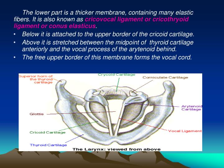 The lower part is a thicker membrane, containing many elastic fibers. It is also known as