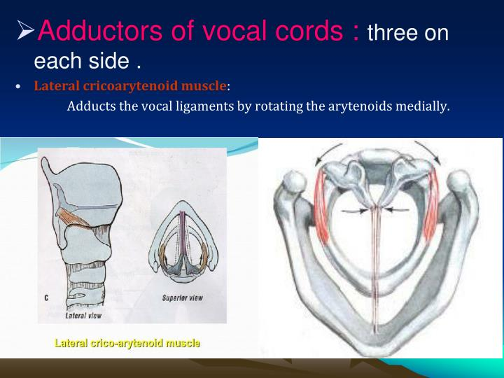 Adductors of vocal cords :