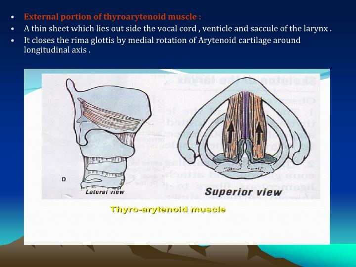 External portion of thyroarytenoid muscle :
