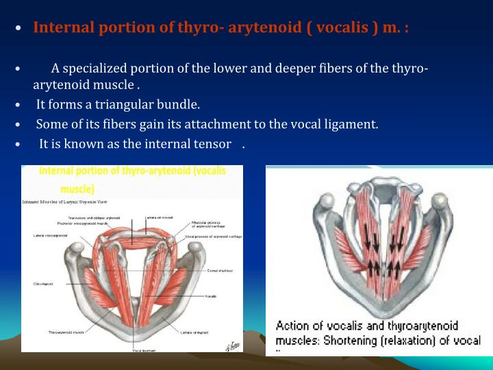 Internal portion of thyro- arytenoid ( vocalis ) m. :
