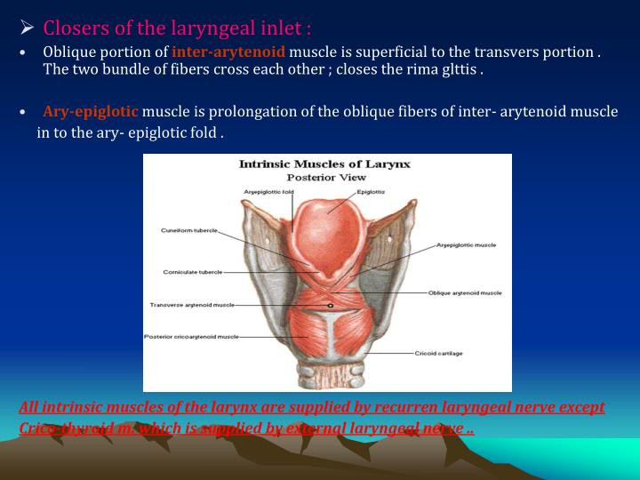 Closers of the laryngeal inlet :
